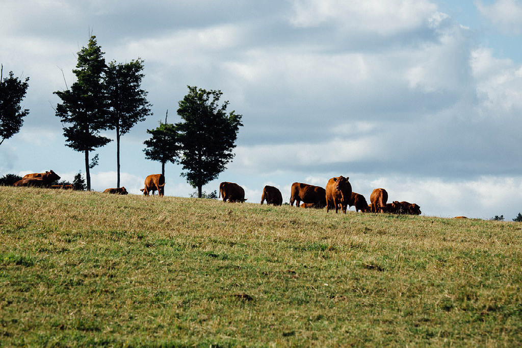Herd of Grass Fed Red Angus at Stonewall Pastures