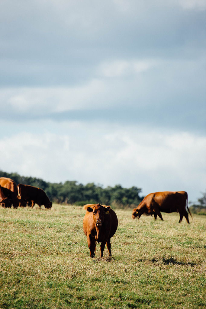Grass Fed Red Angus at Stonewall Pastures